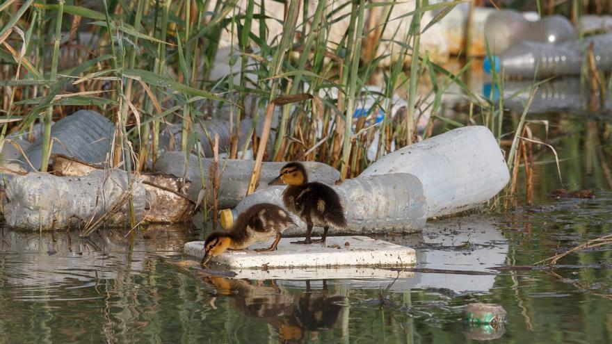 Dos patos buscan comida entre la basura en la desembocadura del Segura / GP. Pablo Blázquez