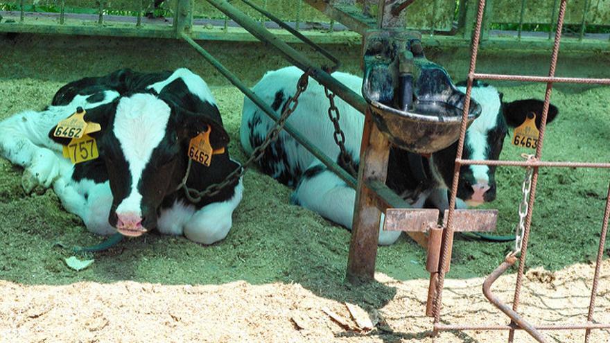 Terneros separados de sus madres nada más nacer para ser engordados y llevados al matadero. Foto: Igualdad Animal