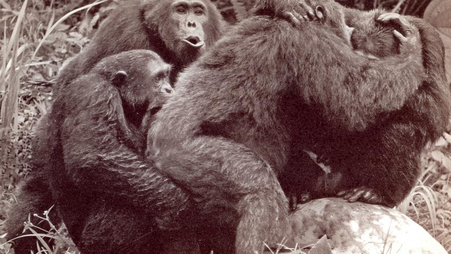 Imagen inédita de archivo, con el chimpancé Humphrey en el centro y un grupo de machos en la época de los asesinatos. / Geza Teleki