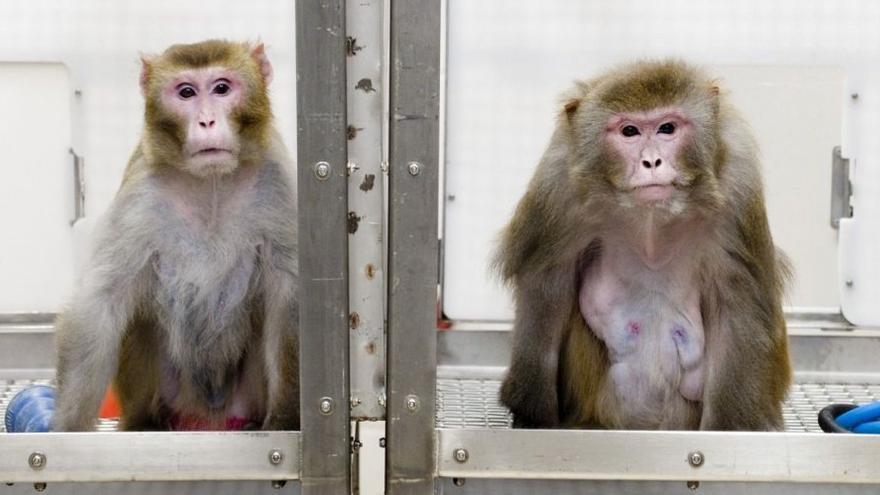 Los macacos son los primates más utilizados en investigación biomédica en España