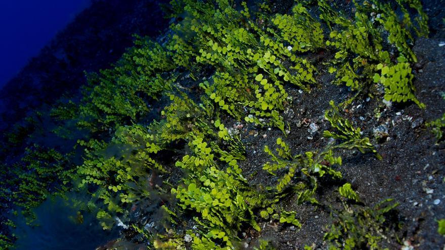 En la imagen, especie 'Halimeda incrassata' en Roque de Niares, a 40 metros de profundidad. Esta especie es de origen tropical y se está extendiendo por otras islas del Archipiélago. Fue detectada por primera vez en 2008.