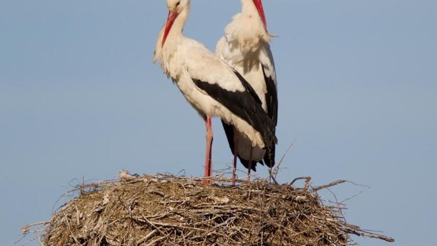 La población de parejas reproductoras de cigüeña blanca en Navarra se estanca, según Gurelur