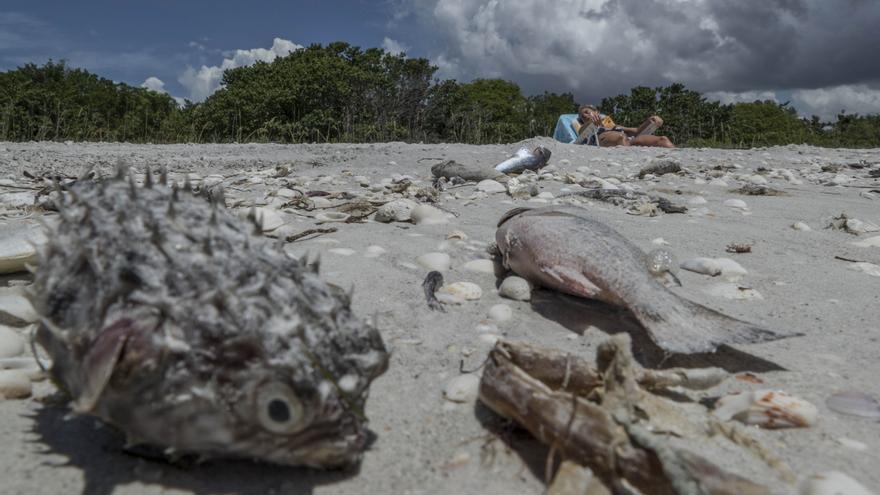 Tóxica marea roja causa una nueva mortandad de peces en la costa oeste de Florida
