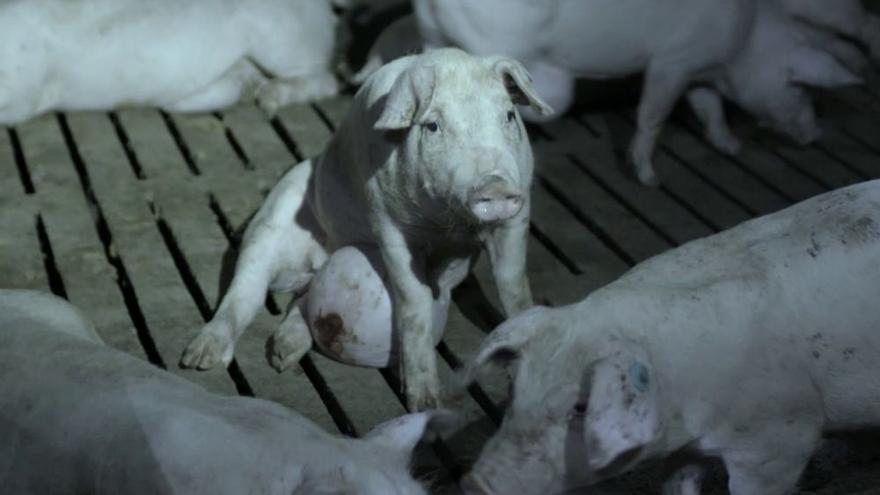 """La """"brutal"""" visita de Jordi Évole a una granja de cerdos: """"Nunca me he encontrado nada como esto"""""""