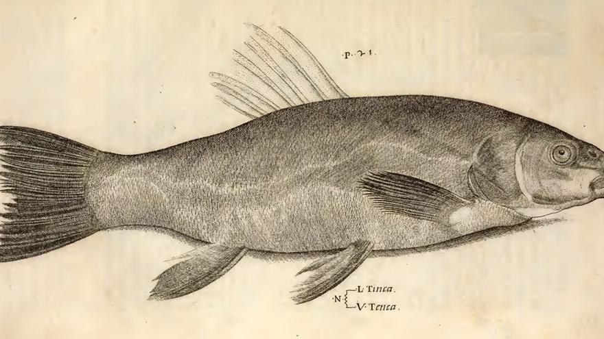 Ilustración de una tenca (Tinca tinca) incluida en la obra de Hippolito Salviani Aquatilium animalium historiae, publicada en Roma en 1554