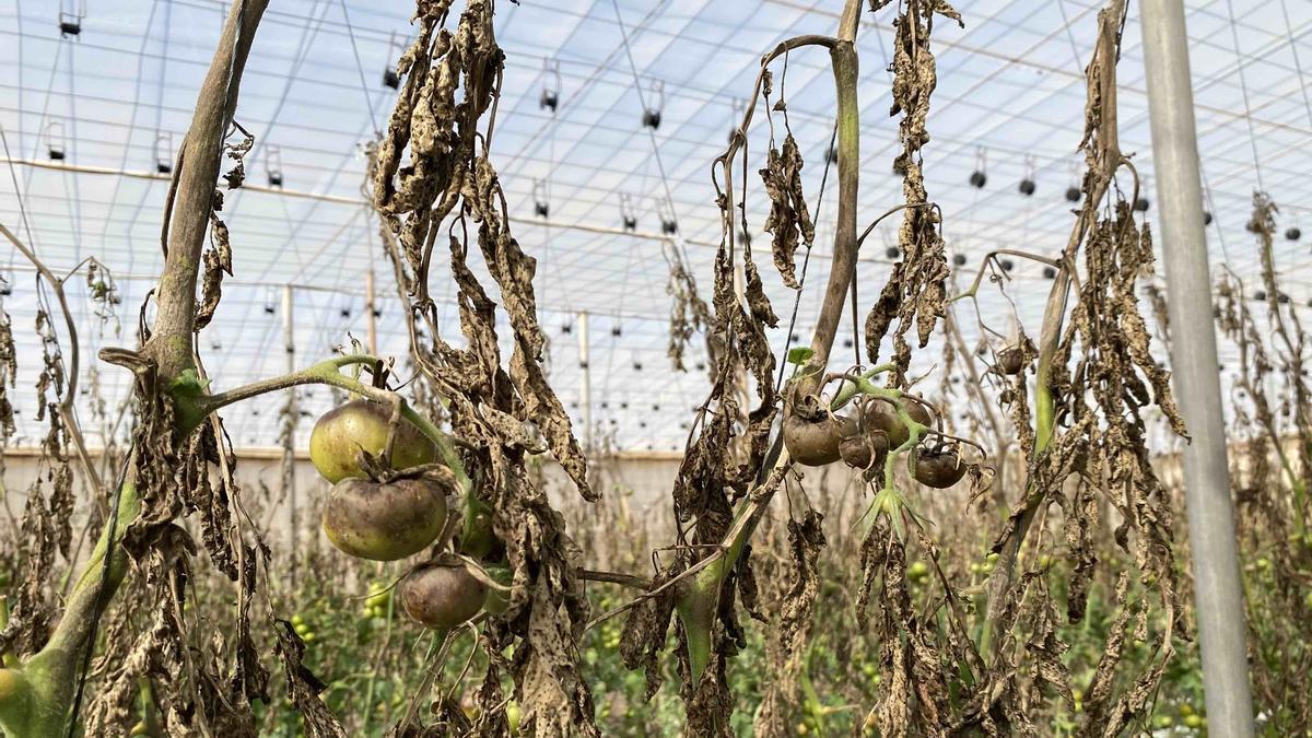Cultivos de tomate en el municipio de La Aldea afectados por el mildiu.