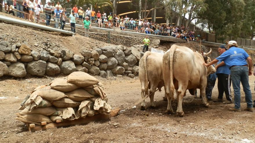 Un momento de la quinta prueba del Concurso Insular de Arrastre Isla de La Palma 2017  Trofeo Gobierno de Canarias, celebrada en Los Llanos. Foto: Club de Arrastre La Canga.