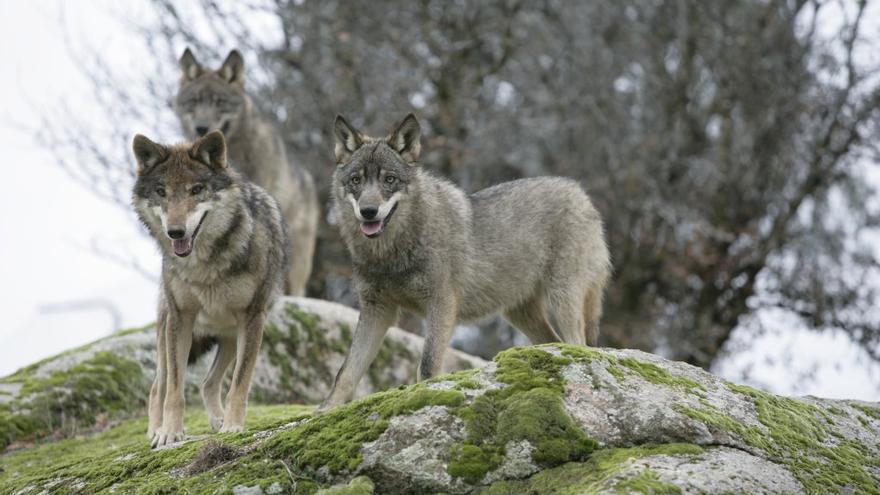 Grupo de lobos.