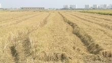 La quema de la paja del arroz vuelve a ser un problema medioambiental