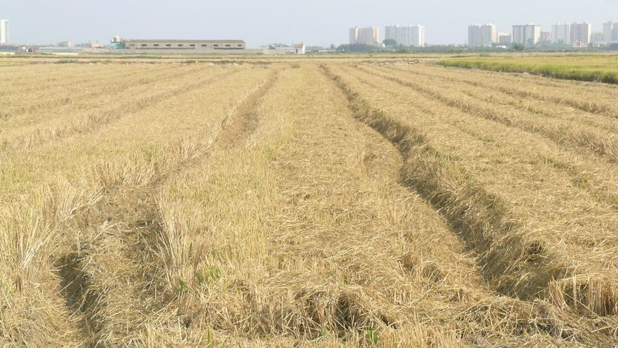Paja de arroz en un campo valenciano