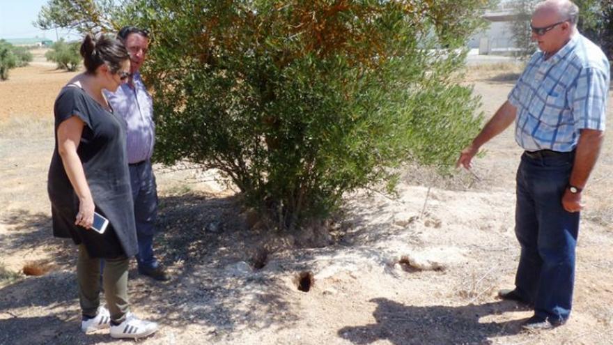Un agricultor muestra los daños causados por los conejos