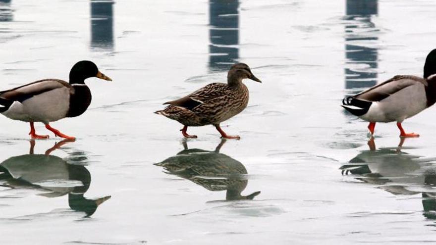 Sacrifican en Hungría 115.000 patos por un nuevo brote de gripe aviar H5N8