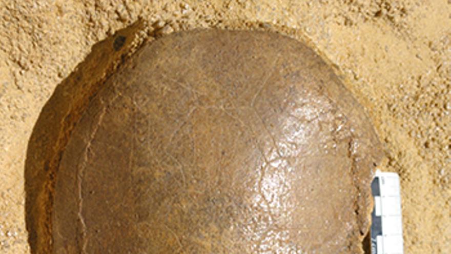 Uno de los caparazones completos de la tortuga Algorachelus hallados durante la excavación