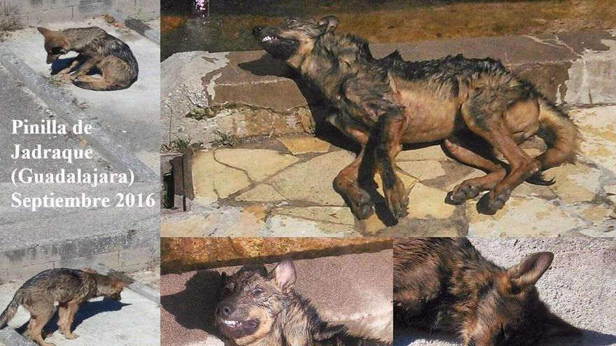 Ejemplar de lobezno que apareció agonizante en el interior de la fuente de Pinilla de Jadraque (Guadalajara)