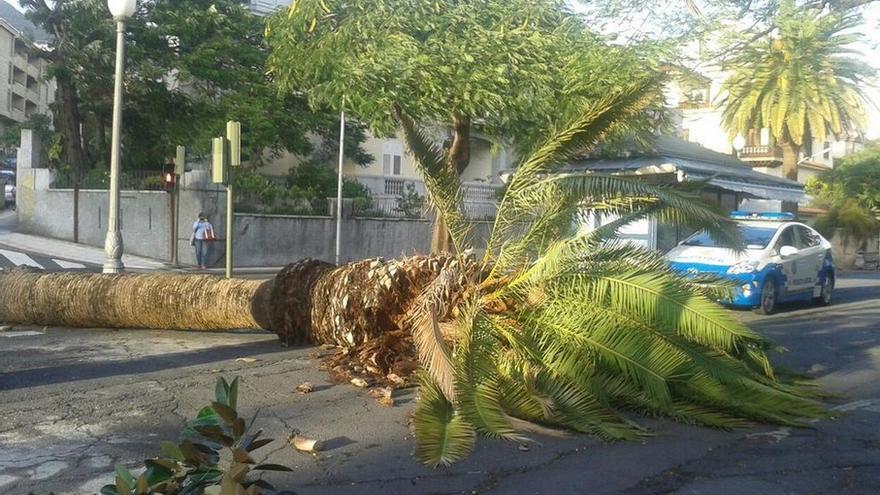 Caída de una palmera a causa del viento en Santa Cruz de Tenerife. Foto: @PolicialocalSC.