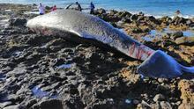 Aparece un cachalote muerto en la costa de Arinaga