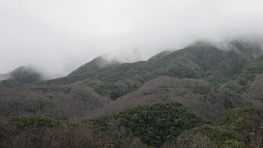 En la imagen se pueden apreciar cómo los castaños, sin hojas en invierno, han invadido el monteverde de Breña Alta. Foto: LUZ RODRÍGUEZ