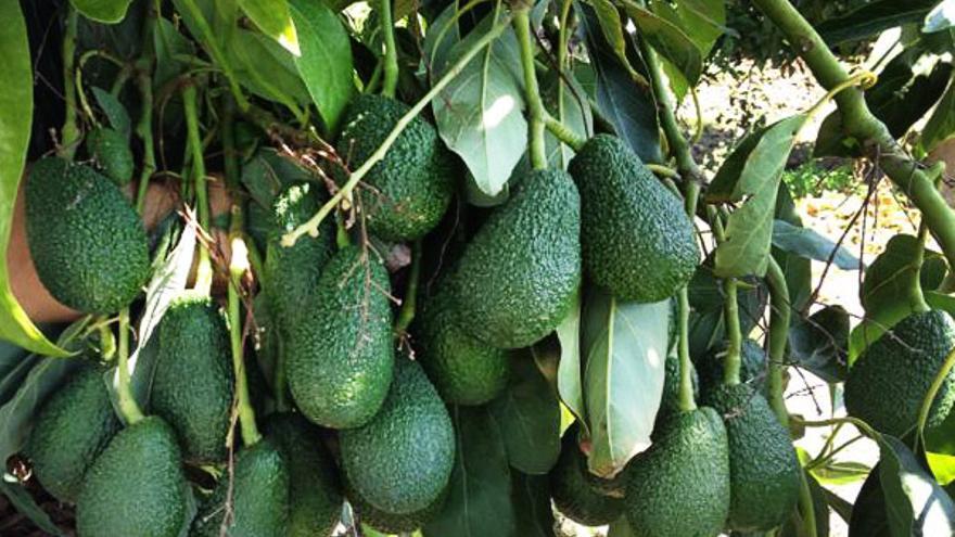 Frutos en un árbol de aguacate