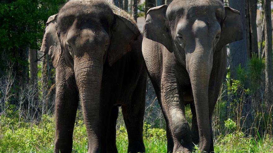 """Doce elefantes """"jubilados"""" de circos llegan a su nueva reserva en Florida"""