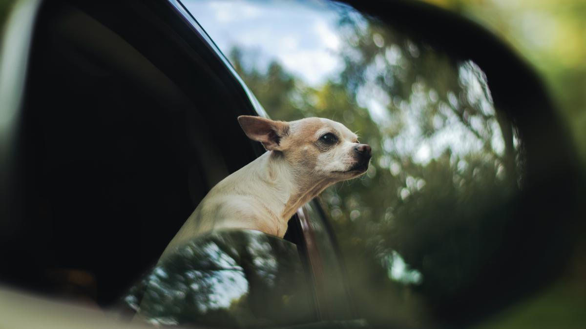 Cómo ayudar a tu perro a viajar en coche.