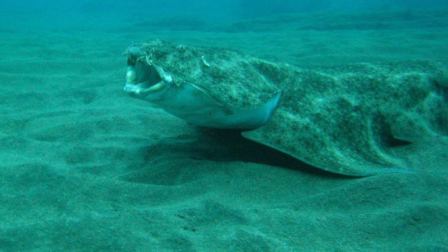 Ejemplar de angelote o tiburón ángel en aguas marinas con fondo arenoso
