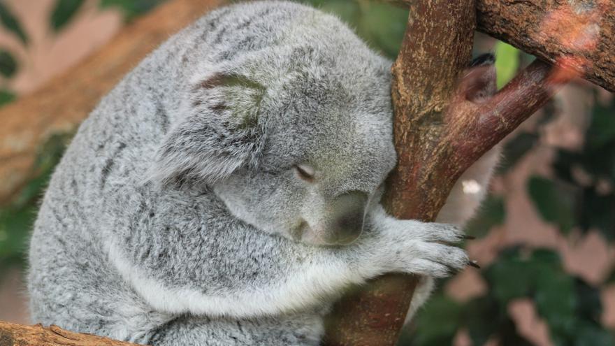 Mientras tanto en Internet - Koala