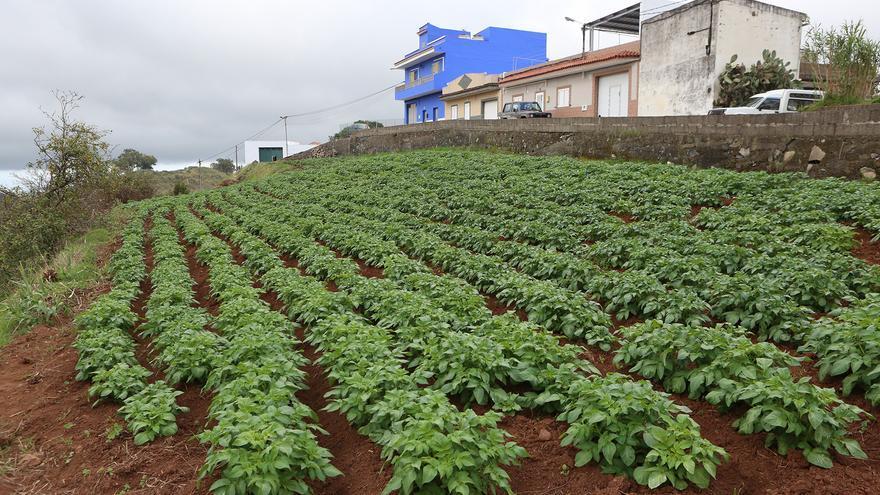 Plantación de papas en Valleseco (ALEJANDRO RAMOS)