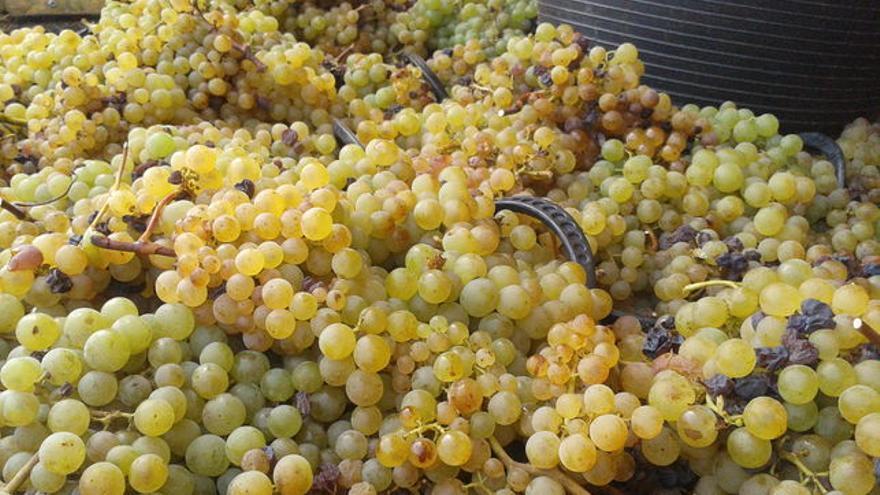 Imagen de archivo de recolección de uva en La Palma.