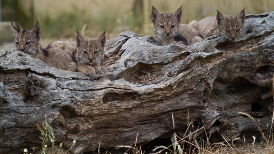 """La UICN constata la recuperación del lince ibérico, aunque sigue """"en peligro"""""""