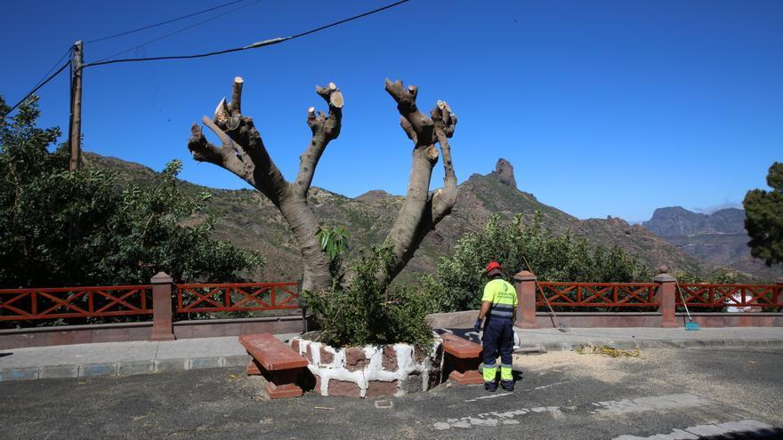 Uno de los árboles podados en la calle Doctor Domingo Hérnandez Guerra, en Tejeda (Gran Canaria).
