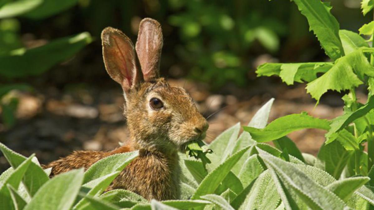 Un conejo se come una vid.