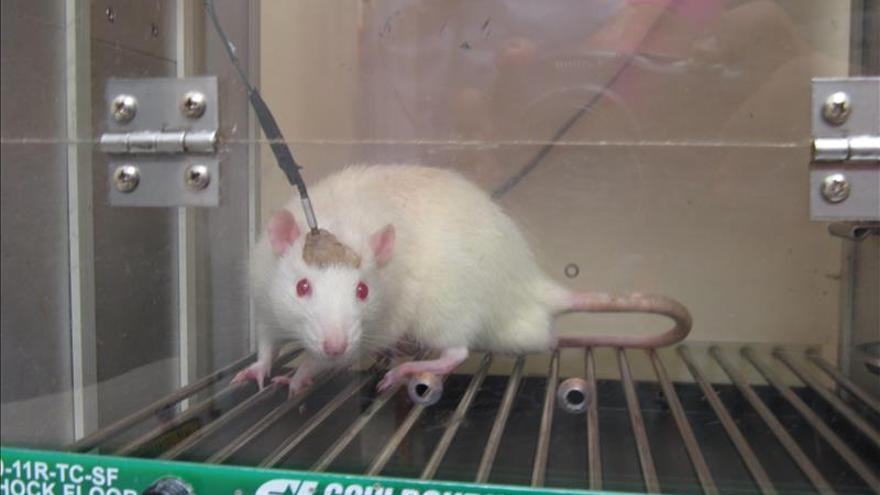 Científicos descubren la forma de rejuvenecer ratones