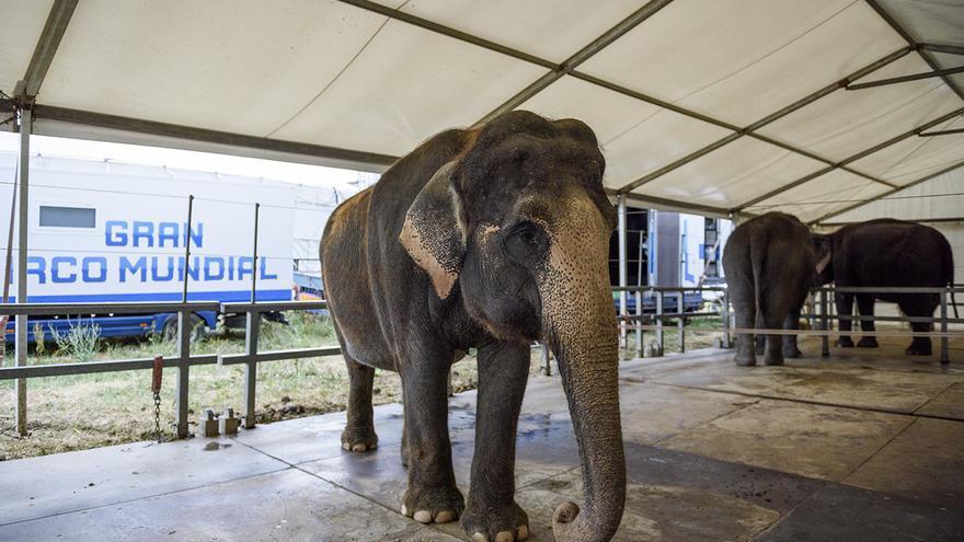 Elefantes en las instalaciones del Circo Mundial, en 2016. Foto: Tras los Muros