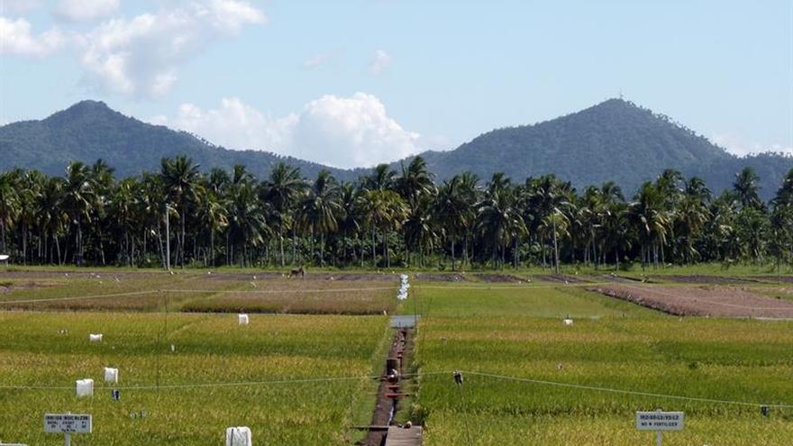 """El arroz """"milagroso"""" que atajó parte del hambre en Asia"""
