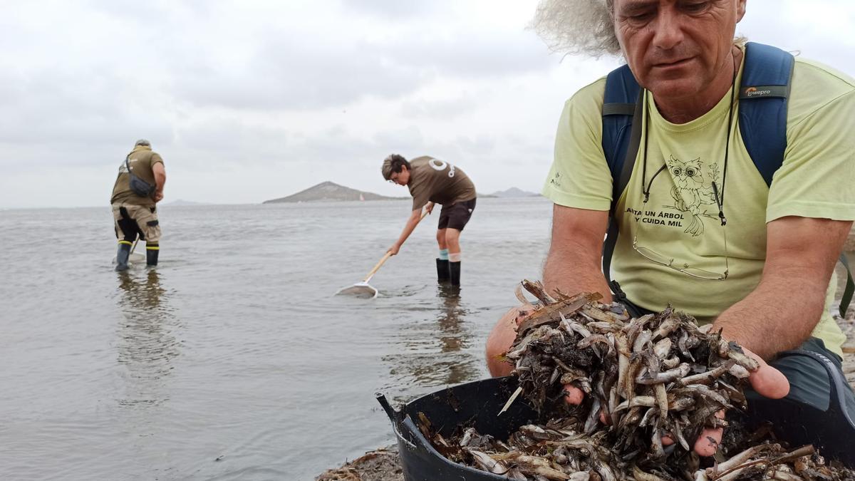 Recogida de peces muertos en el Mar Menor por séptimo día consecutivo
