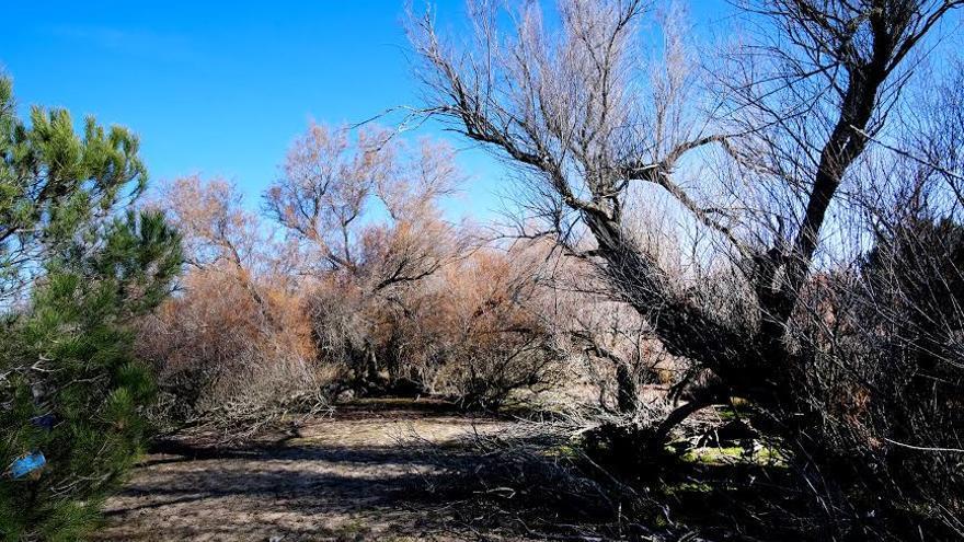 Laguna del Taraje. Era laguna temporal de larga duración o estacional. Seca desde 2013. Cuando las lagunas se secan, la vegetación invade la zona que antes ocupaba el agua.