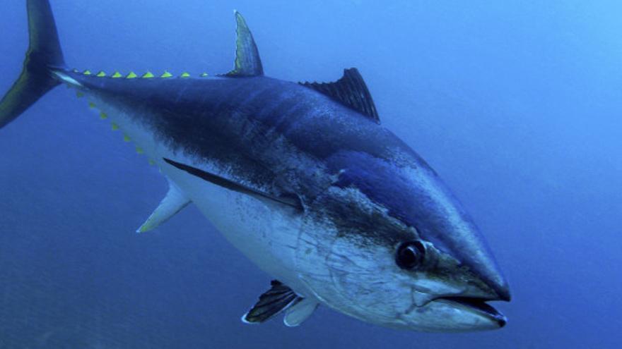 Ejemplar de atún rojo, en una imagen de archivo