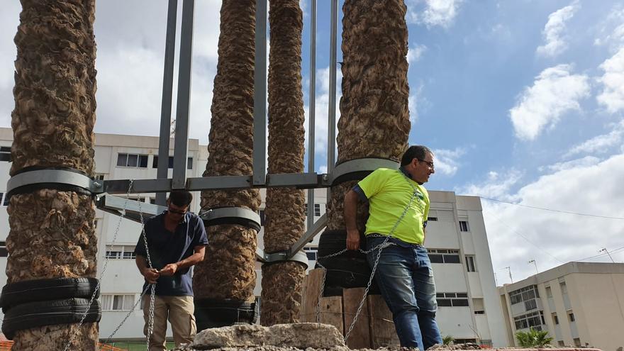 Un ecologista encadenado a una palmera centenaria para evitar su traslado en Las Palmas de Gran Canaria.