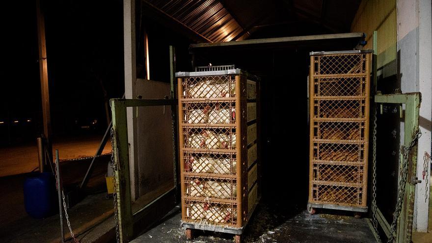 Las aves llegan en contenedores apilados que son dirigidos hasta el área de desangrado.