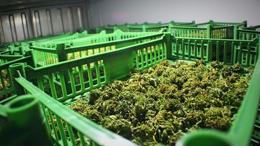 Secaderos de marihuana en una granja legal de Uruguay, donde el cannabis está legalizado