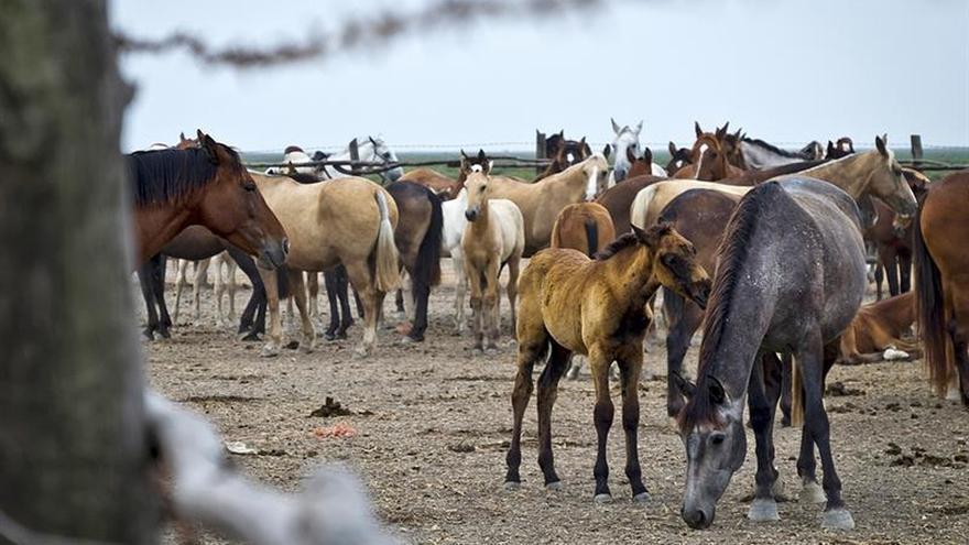 'Saca de las Yeguas', la perdurabilidad de lo ancestral en Doñana