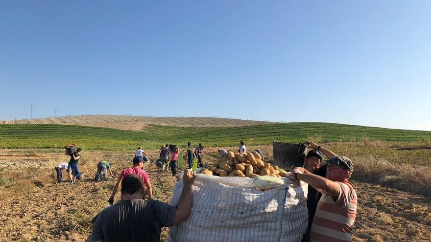 Un grupo de agricultores ecológicos recogiendo patatas