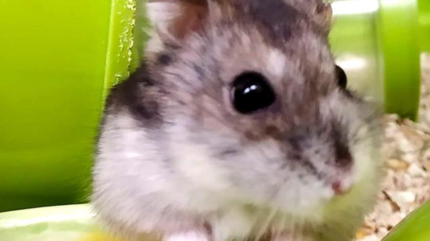Pequeña hamster rusa rescatada que busca hogar en APAEC