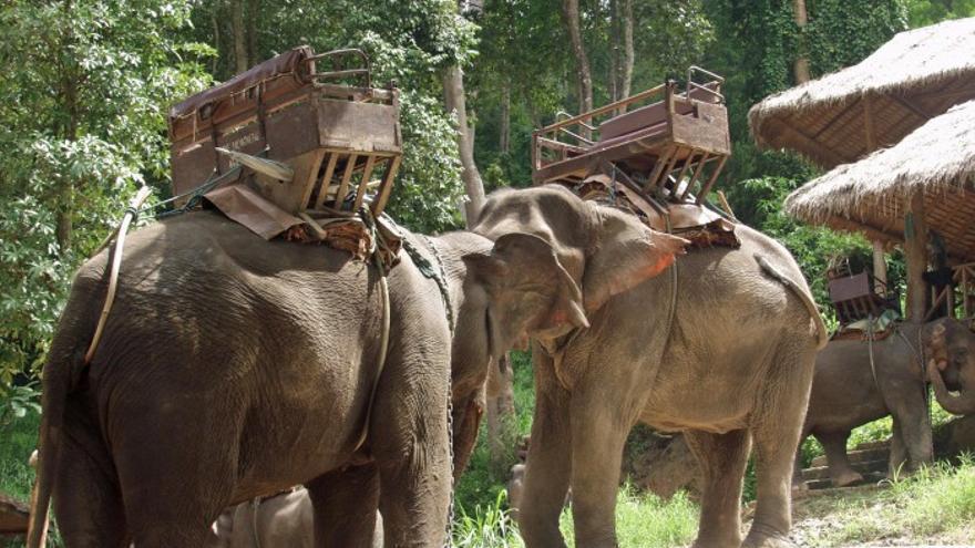 Elefantes con sillas de trekking para turistas. Foto: ©Elemotion