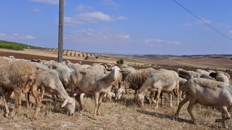 Ayudas para ganaderos de ovino y caprino