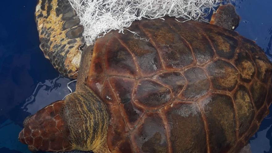 Rescatan una tortuga boba envuelta en fibras  de rafia en Tazacorte y tienen que amputarle una aleta