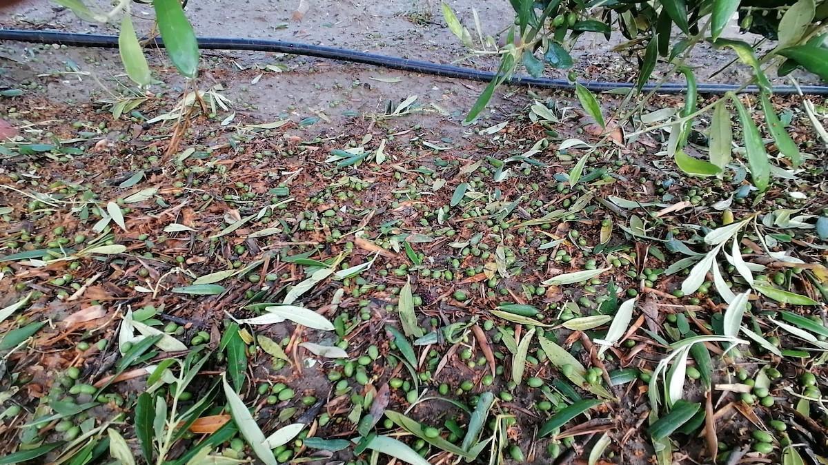 Efectos de la granazida en cultivos de aceituna.