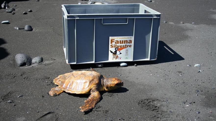 En la imagen, una tortuga atendida en el Centro de Rehabilitación de Fauna Silvestre del Cabildo.