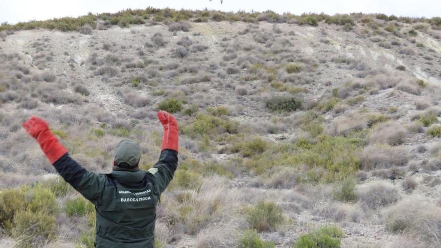 Un macho de águila real, radioequipado para conocer las posibles afecciones de las infraestructuras eléctricas