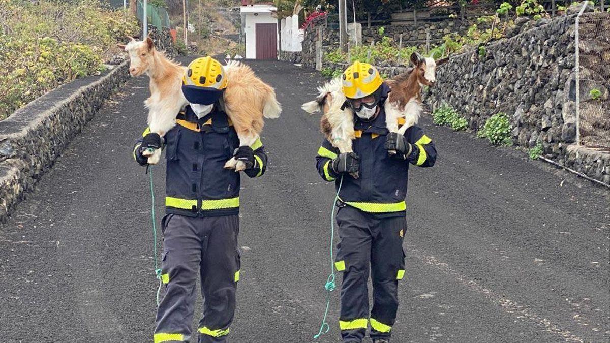Dos cabras son trasladas por bomberos.